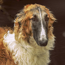 Russian Hound by Tihomir Beller - Animals - Dogs Portraits ( animals, dogs, pets, russian hound )