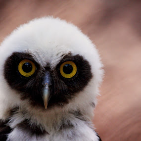 The eyes have it by Ruth Jolly - Animals Birds ( bird, spectacled owl, bird of prey, nature, owl, wildlife, animal )