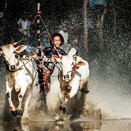 Bay Nui Cow Racing Festival by Phạm Công Tiến - News & Events Sports ( tri ton, ho chi minh, an giang,  )