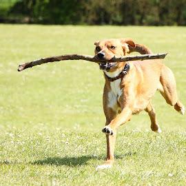 fetch by Samantha Bearman - Animals - Dogs Playing ( playing, fetch, dogs, park, pets,  )
