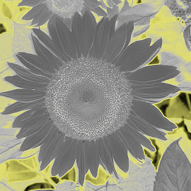From Gray to Sun--flower by Sheila Holdren - Digital Art Things ( sunny, neon, sunflower, fun, yellow, gray, Hope,  )