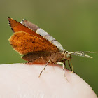 Orange Wing Moth