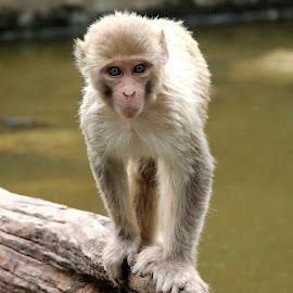 monkey by Niraj Jha - Animals Other Mammals
