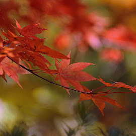 Autumn Leaves by Lisa Silva - Nature Up Close Leaves & Grasses ( red, nature, tree, autumn, japanese, leaves, foilage, maple,  )