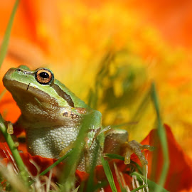 by Erin  Thomsen - Animals Amphibians ( pacific tree frog, orange, champagne, yard, frog, green, champagne bubbler poppy, bubbler, pacific, poppy, northwest, back yard, tree, pacific northwest )