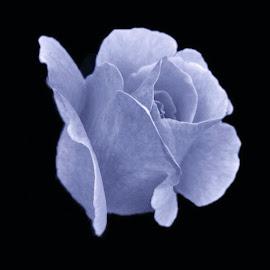 A blue rose  by Bridget Wegrzyn - Digital Art Things (  )