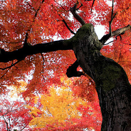 Under the Maple tree by Lilian Pineda - Nature Up Close Trees & Bushes ( orange, red, wood, nature, autumn, fall, trees, leaves )