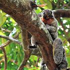 Macaco Parauacu