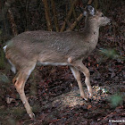 White-tailed deer, recovery from broken leg