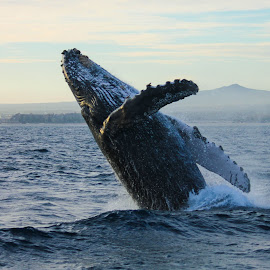 Humpback Whale by Shelly Priest - Animals Other Mammals ( humpback, breach, mexico, pacific ocean, whale )