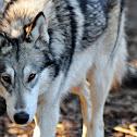Gray Wolf Hybrid
