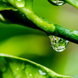 Elixir of Life by Sanjeev Goyal - Nature Up Close Natural Waterdrops ( water, green, drop, leaf, rain )