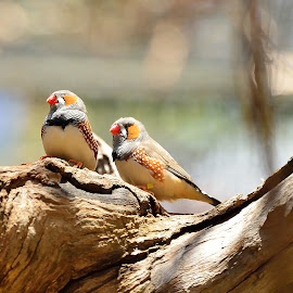 Zebra Finch. by RJ Photographics - Novices Only Wildlife