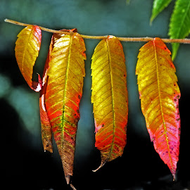 Autumn leaves by Michael Moore - Nature Up Close Leaves & Grasses ( leaves )