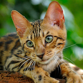 by Purnama Effendi - Animals - Cats Portraits ( bekasi, taman safari, cattery, travel, animal )