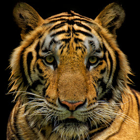 Eye of the Tiger by Charliemagne Unggay - Animals Other Mammals ( mammals, orange, wild, animals, tiger )