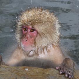 Japanese Snow Monkey by Martin Lee - Novices Only Wildlife ( japan, monkeys, nature up close )