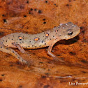Eastern Newt - red eft stage