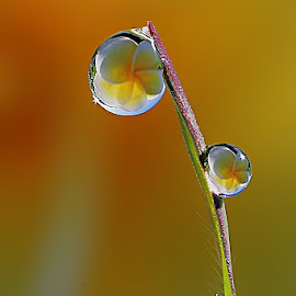 :: Dews :: by Dedy Haryanto - Nature Up Close Natural Waterdrops