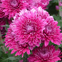 Chrysanthemum (purple) 紫菊花