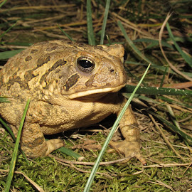 Toad by Hunter Waldridge - Animals Amphibians ( canon, nature, amphibian, toad, animal )
