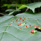 Maple Bladder Gall