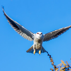 blackwinged-kite_2176_1368_nocopyright.jpg
