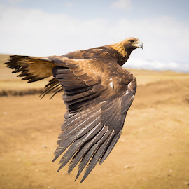 Golden Eagle by Sam Alexander - Animals Birds