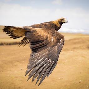 Golden Eagle by Sam Alexander - Animals Birds