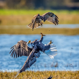 Defense by Gary Davenport - Animals Birds ( flight, eagle, red tail, bald, encounter, rth, hawk, bird, fly )
