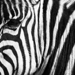Stripes and eye by Cristobal Garciaferro Rubio - Abstract Patterns ( b/w, zebra, stripe, eye )