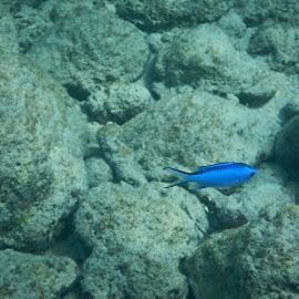Fish by Jobena Robertson Lopez - Animals Fish ( blue, underwater, fish, sea, caribbean )