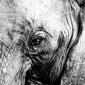 Elephant eye by George Watson - Animals Other Mammals ( wrinkles, old, big eyes, skin, eye )