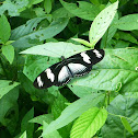 Laparus Longwing