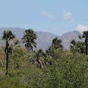 Palma de Cera aka Wax Palm