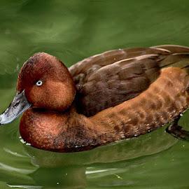 Reddy by Radu Eftimie - Animals Birds ( red, duck )