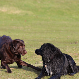 I said NO!  by Sherry Thompson - Animals - Dogs Playing ( playing, friends, dogs, flat-coated retriever, beach,  )