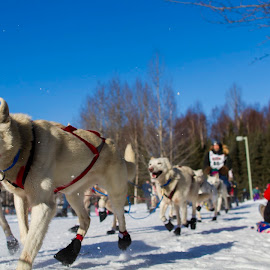 Iditarod Start 2 by Bruce Wayne - News & Events Sports ( dogs, ceremonial, start, alaska, iditarod )
