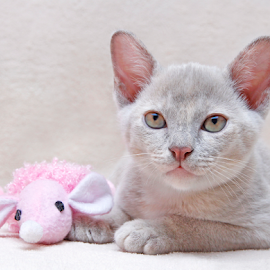 Pink friend by Mia Ikonen - Animals - Cats Kittens ( mouse, finland, cute, young, burmese )