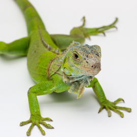 Iguana by Dodi Yoga - Animals Reptiles ( iguana, deemozart, animal,  )