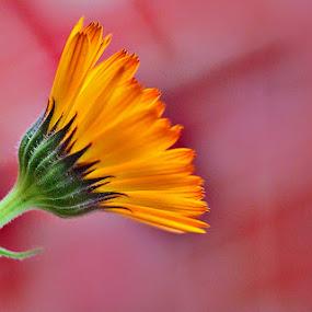 by Shibram Nag - Flowers Single Flower ( ** )