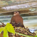 Ruddy ground doves