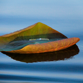 Water Lily Leaf  by Sadat Hossain - Nature Up Close Leaves & Grasses ( water, bangladesh, nature, waterdrop, leaf, water lily )