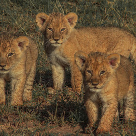 Lion cubs by Lourens Lee Wildlife Photography - Animals Lions, Tigers & Big Cats ( animals, big cats, wildlife, lions, africa )