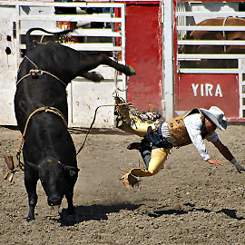 Decisive dismount by Gaylord Mink - Sports & Fitness Rodeo/Bull Riding ( cowboy, rodeo, dismount, bucking, bull )