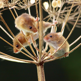 3 blind mice by Garry Chisholm - Animals Other Mammals ( mice, garry chisholm, mouse, nature, three, wildlife, harvest, rodent )