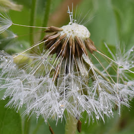 After the rain by Corina Ene Noël - Nature Up Close Other plants ( macro, dandelion, wet, rain )