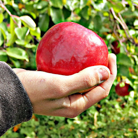 Apple of my Hand by Teiana Bourdon - Nature Up Close Gardens & Produce ( hand, red apple, apple, fall,  )
