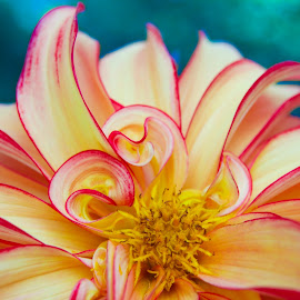 Dahlia by Ashley Swenson - Flowers Single Flower ( macro, red, blue, colors, yellow, flowers, flower )