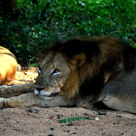 Taking rest by Kaushik Dutta - Animals Lions, Tigers & Big Cats ( wild animal, lion, animals, lions, animal )